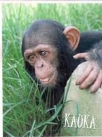 Apadrinament d'un ximpanzé